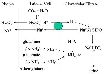 relationship of renal ammonia production and potassium homeostasis